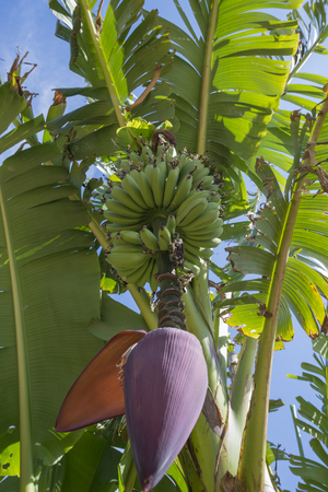 bunched: banana plant Stock Photo