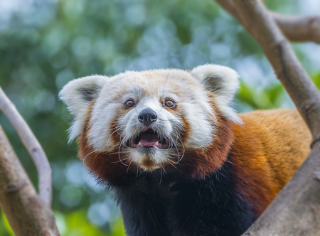 bearcat: red panda - Ailurus fulgens Stock Photo