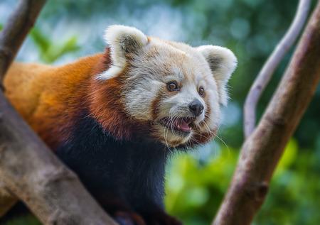 bearcat: red panda - Ailurus fulgens Stock Photo