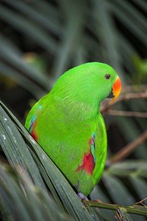 red winged: Red winged Parrot - Aprosmictus erythropterus