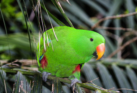 winged: Red winged Parrot - Aprosmictus erythropterus