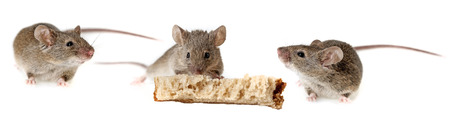 hairy back: a mouse eating bread isolated on a white background Stock Photo