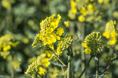 canola plant: rape plant (canola, rapeseed)  in detail on field