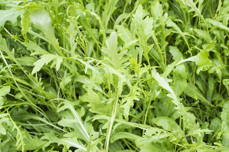 roquette: fesh roquetterucolawild rocket  (type of lettuce) in a glasshouse Stock Photo
