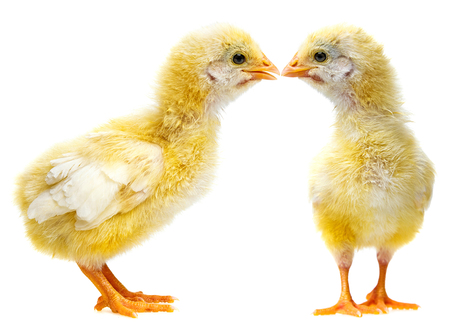 cute chickens Stock Photo