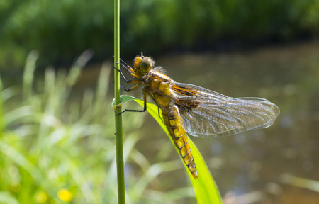 Libellula depressa (female) - dragonfly (Broad-bodied chaser) sitting on a grass
