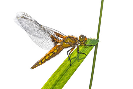 libellula: Libellula depressa (female) - dragonfly (Broad-bodied chaser) sitting on a grass