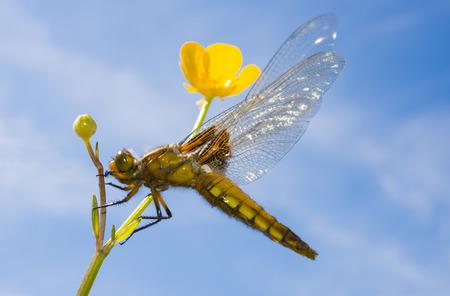 libellula: Libellula depressa (female) - dragonfly (Broad-bodied chaser) sitting on a flower