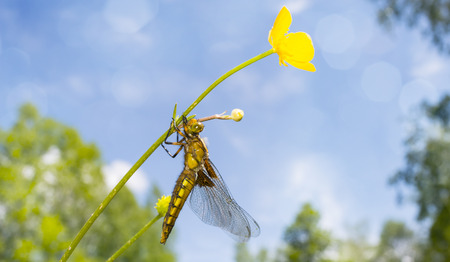 Libellula depressa (female) - dragonfly (Broad-bodied chaser) sitting on a flower