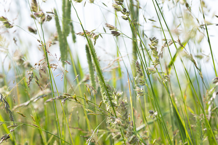 flowering grass in detail - allergens