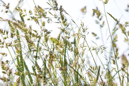 alergenos: flor de la hierba en detalle - alergenos