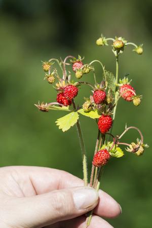 'wild strawberry: wild strawberry Stock Photo