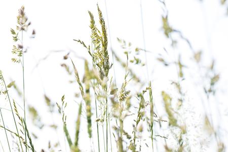 bloeiend gras in detail - allergenen