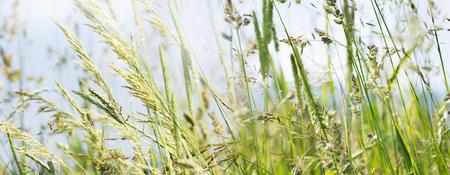 alergenos: flowering grass in detail - allergens