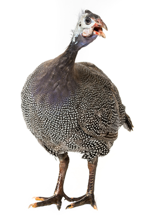 fowl: guinea fowl - Numida meleagris f. domestica Stock Photo