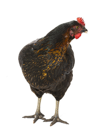 a hen - chicken isolated on white background