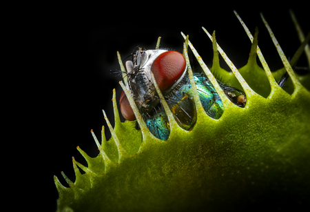 Venus flytrap - dionaea muscipula with trapped fly