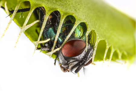 trapped: Venus flytrap - dionaea muscipula with trapped fly