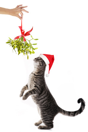 a cat with santa cap