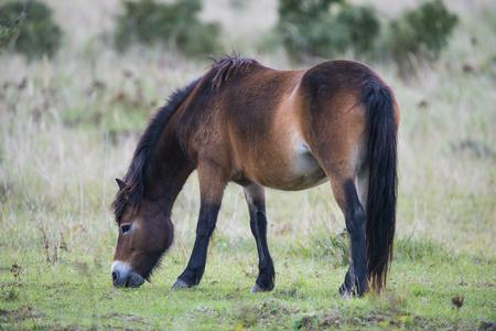 exmoor pony Milovice - Crech republic