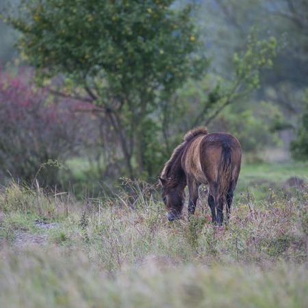 l natural: exmoor pony Milovice - Crech republic