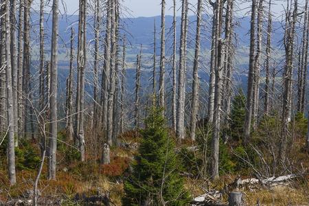 calamity: dead dry forest - bark beetle calamity on national park Sumava Stock Photo