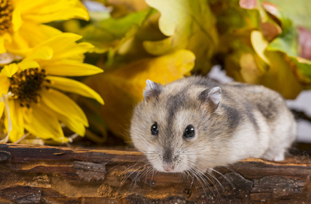 kleine huisdier hamster - Phodopus sungorus