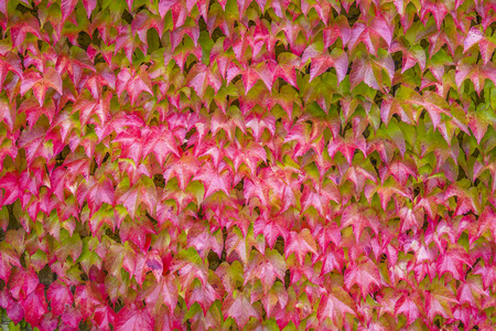 Boston Ivy (Parthenocissus tricuspidata) on a wall