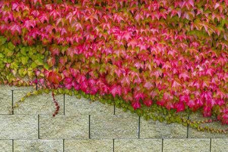 Boston Ivy (Parthenocissus tricuspidata) on a wall