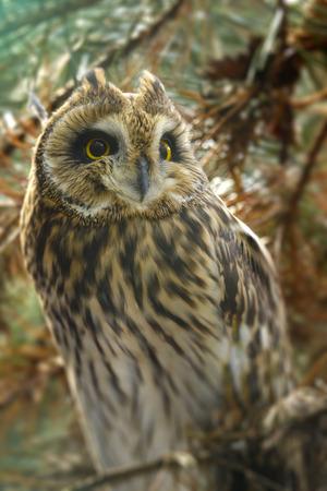 eared: Asio otus - Long eared Owl