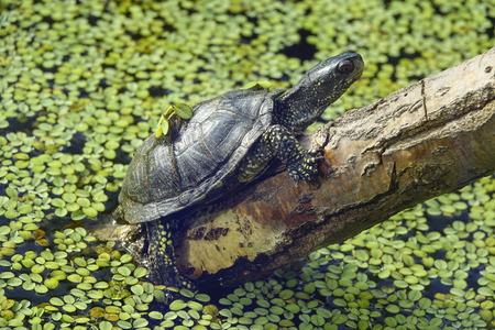 emys: Emys orbicularis - European pond turtle