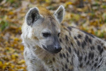 Crocuta crocuta - Spotted Hyena