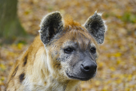 spotted: Crocuta crocuta - Spotted Hyena