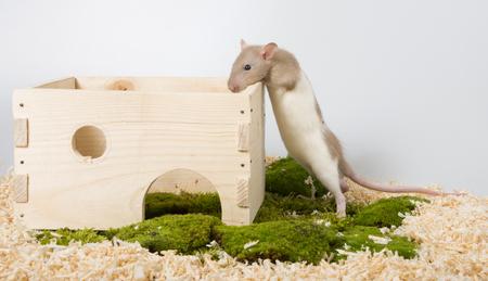 Rattus norvegicus - pet rat with little home