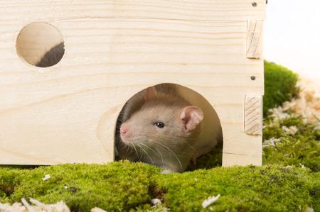Rattus norvegicus - pet rat in little home Stock Photo