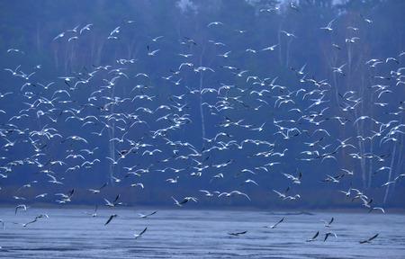 ridibundus: Black-headed Gull - Chroicocephalus ridibundus on a pond - catching fish after fishing pond Stock Photo