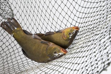 Tench - (Tinca tinca) in a net Stock Photo