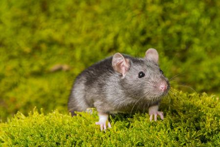 Rattus norvegicus - pet rat Stock Photo