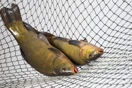 tinca tinca: Tench - (Tinca tinca) in a net Stock Photo