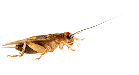 edible: cricket - Gryllus assimilis - feeding insects