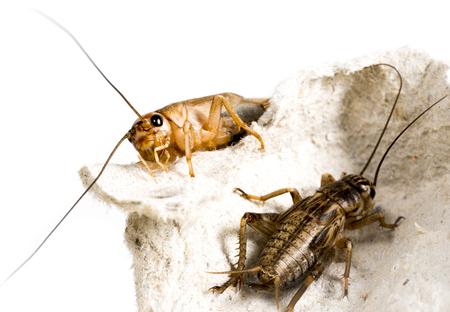 cricket - Gryllus assimilis - feeding insects