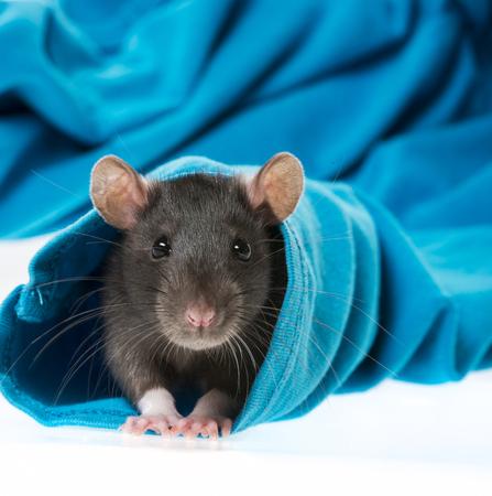 cute pet rat in a sleeve