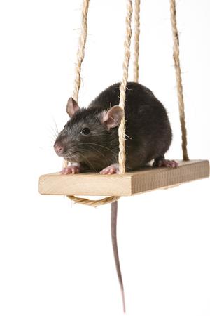 a cute little rat on a swing Stock Photo