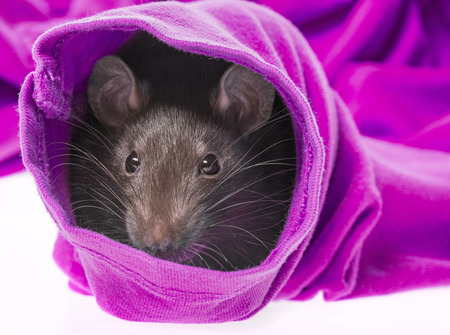 cute pet rat in a sleeve