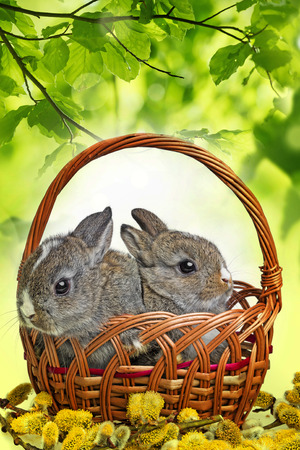 two little rabbits in a basket and spring branch Stock Photo