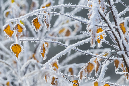 covered fields: frozen tree with yellow leaves - winter background Stock Photo