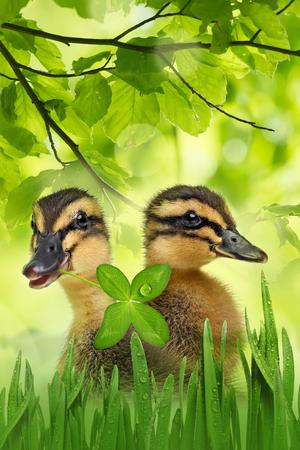 ducklings: cute ducklings
