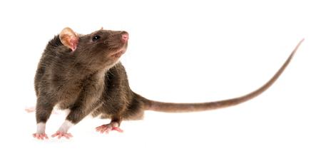 cute pet rat Stock Photo