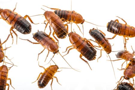 cockroach - Blatta lateralis