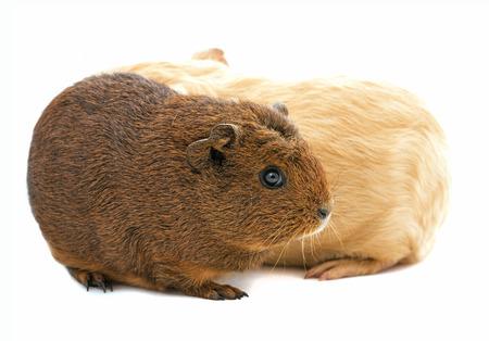 cavie: guinea pigs isolated on white Archivio Fotografico